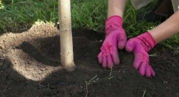 ЈКП Градитељ дели саднице дрвећа