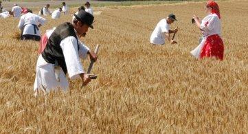 Традиционална жетва чува обичаје Мађара